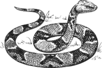 animal,reptile,snake,biology,zoology,black and white,outline,line art,externalsource,wikimedia common,psf
