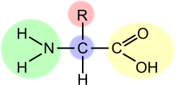 amino acid,amino,acid,formula,structure,model,science,chemistry,biology