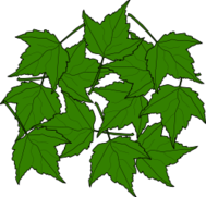 bujung,maple,leaf,fall,green,plant
