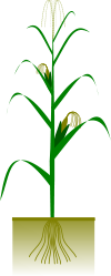 maize,plant,botany,biology,crop,cob,grain,svg,png,clipart,agriculture
