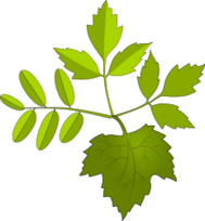 leaf,foliage,green,nature