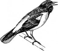 singing,bird,animal,oriole,biology,zoology,ornitology,line art,black and white,contour,outline