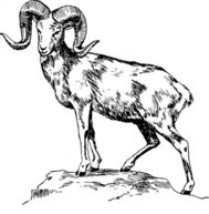 argali,animal,mammal,sheep,biology,zoology,line art,black and white,contour,outline