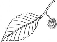 beech,leaf,outline,nature,plant,biology,botany,line art,media,clip art,externalsource,public domain,image,png,svg,wikimedia common,psf,wikimedia common