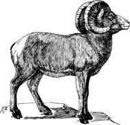 bighorn,animal,mammal,wild,sheep,biology,zoology,line art,black and white
