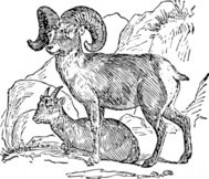 bighorn,sheep,animal,mammal,media,clip art,externalsource,public domain,image,png,svg