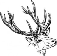stag,head,animal,mammal,wild,antler,biology,zoology,line art,black and white,contour,outline,deer