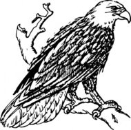 bald,eagle,animal,bird,biology,zoology,ornitology,line art,black & white,contour,outline,externalsource,wikimedia common,psf