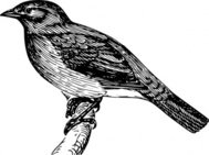 bulbul,animal,bird,biology,zoology,ornitology,line art,black and white,outline,contour,media,clip art,externalsource,public domain,image,png,svg,wikimedia common,psf,wikimedia common