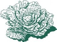 dutch,cabbage,plant,vegetable