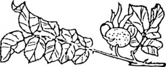 rose,branch,clip