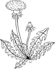 taraxacum,officinale,outline,nature,plant,flower,black & white,season,spring,dandelion,externalsource