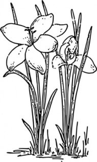 rose,flower,crocus,nature,plant,biology,botany,gardening,line art,season,spring,black and white,contour,outline,media,clip art,externalsource,public domain,image,png,svg,wikimedia common,psf,wikimedia common