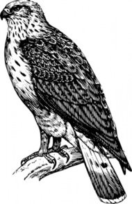 buzzard,raptor,black and white,animal,bird,biology,zoology,ornitology,line art,outline,contour,media,clip art,externalsource,public domain,image,svg,wikimedia common,psf,wikimedia common