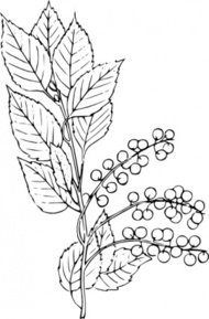 chokecherry,nature,plant,berry,biology,botany,line art,black and white,contour,outline,media,clip art,externalsource,public domain,image,png,svg,wikimedia common,psf,wikimedia common