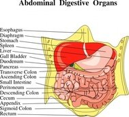 digestive,organ,medical,diagram