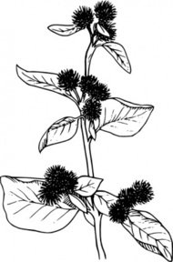 burdock,flower,lineart,nature,plant,weed,biology,botany,line art,media,clip art,externalsource,public domain,image,png,svg,wikimedia common,psf,wikimedia common