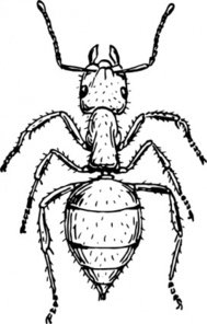 animal,insect,ant,biology,zoology,entomology,line art,black and white,contour,outline