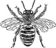 queen,animal,insect,bee,biology,zoology,entomology,line art,black and white,contour,outline