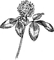 outline,clover,nature,plant,flower,leaf,luck,biology,botany,line art,season,spring,summer,black and white,contour,media,clip art,externalsource,public domain,image,png,svg,wikimedia common,psf,wikimedia common