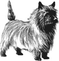 cairn,terrier,greyscale,animal,mammal,pet,dog,biology,zoology,line art,outline,contour