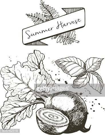 Vector set of summer harvest. Beetroot and basil.