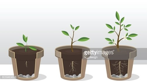 Seedling. Phases of growth of a plant in flowerpot