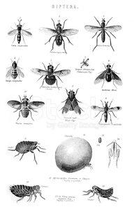 Diptera Insects Flies