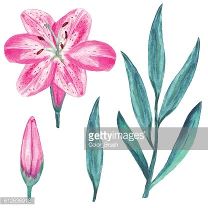 Watercolor pink lily flowers, leafs