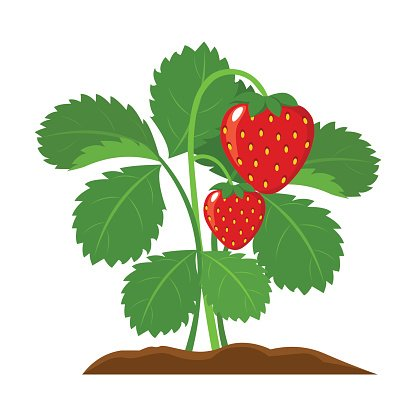 What Is A Strawberry Bush: Care Of Strawberry Bush Euonymus