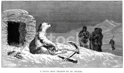 Young polar bear chained to an anchor
