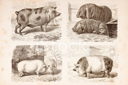Engraving different species of pigs from 1876