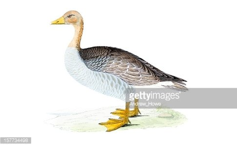 Greylag Goose - Hand Coloured Engraving