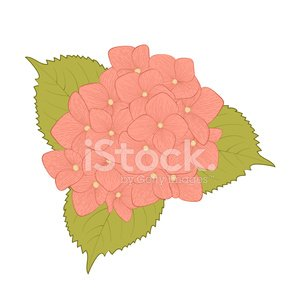 beautiful flower hydrangea isolated on white background