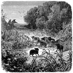 Antique illustration of peccary hunting