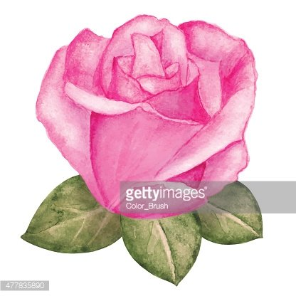 Watercolor pink rose flower bud with leaves