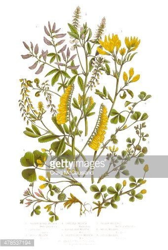 Medick and Black Medick Victorian Botanical Illustration