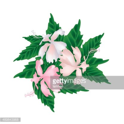 Pink Hibiscus Flowers or Pink Rose Mallow Flowers