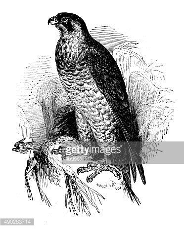 Antique illustration of a falcon