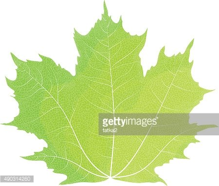 Vector drawing of autumn maple leaves. Green maple leaf.