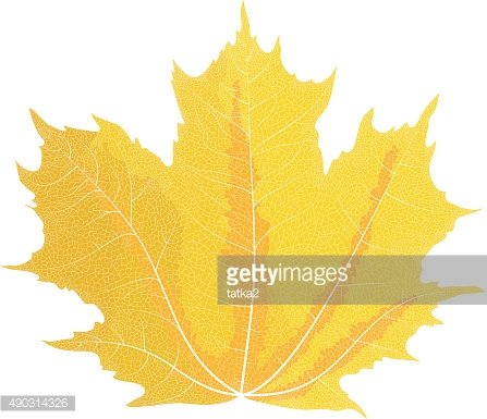 Vector drawing of autumn maple leaves. Yellow maple leaf.