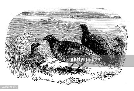 Antique illustration of some partridges in the grass