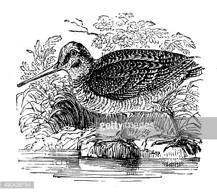 Antique illustration of a woodcock (Scolopax) on the bank