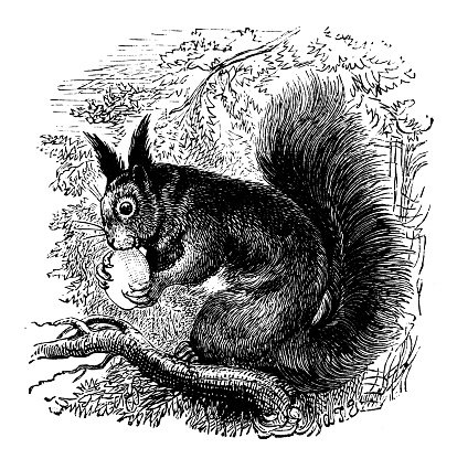Antique illustration of a squirrel (Sciurus), eating on a tree