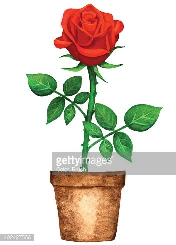 Watercolor potted red rose flower with green leaves