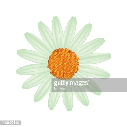 Green Daisy Flower on A White Background