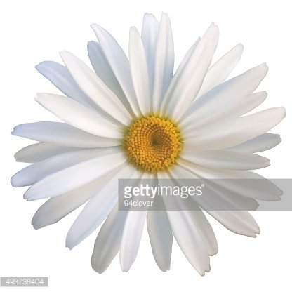isolated daisy flower close-up on a white background
