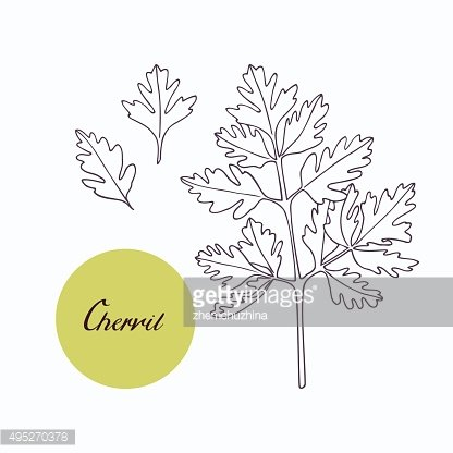 Hand drawn chervil branch with leaves isolated on white