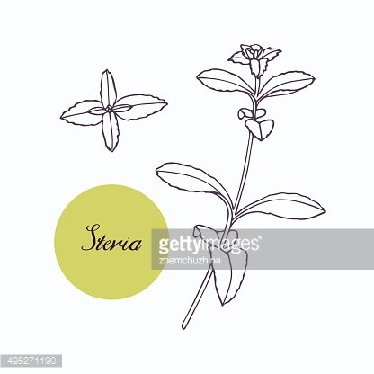 Hand drawn stevia branch with leaves isolated on white