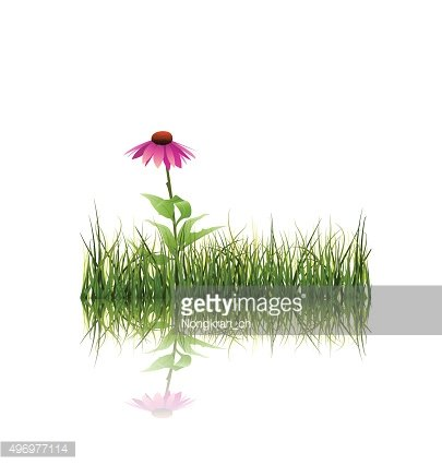 Vector illustration Green grass and echinacea flower